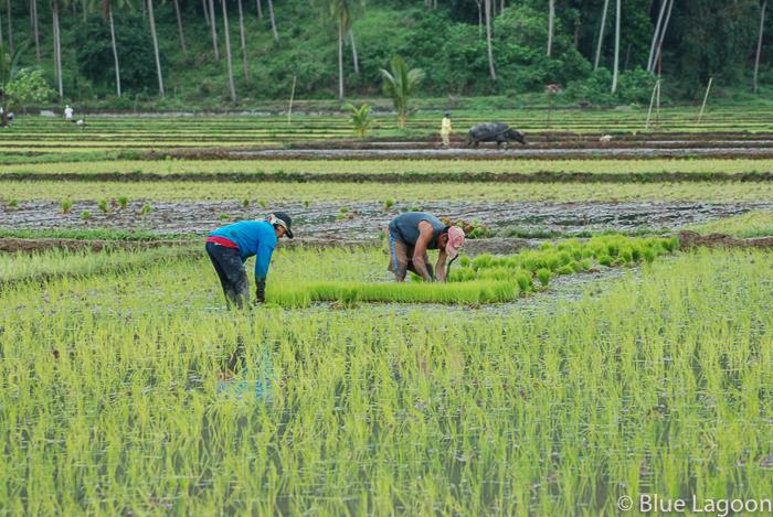 plantation riz-0248